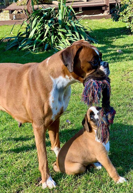 Arya and Bahia Hunde spielen zusammen