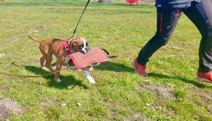 boxerwelpe auf dem Hundeplatz